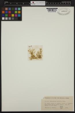 Acinetospora crinita image