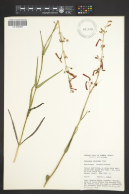 Penstemon subulatus image