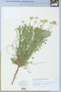 Aphanostephus riddellii image