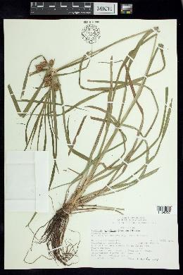 Image of Cyperus megalanthus