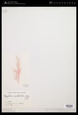 Apoglossum spathulatum image