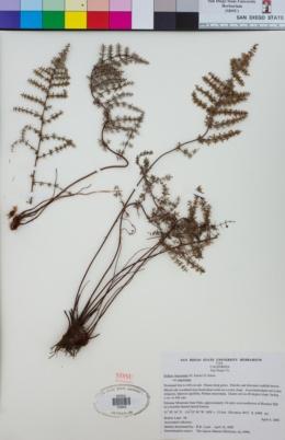 Pellaea mucronata image
