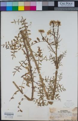 Image of Nasturtium gambelii