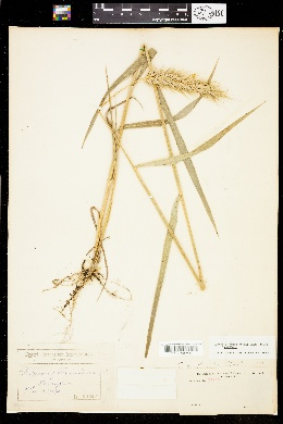 Image of Elymus glabriflorus