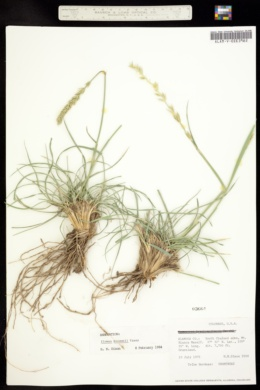 Image of Elymus macounii