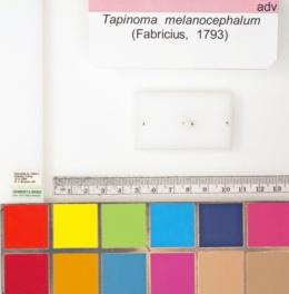 Tapinoma melanocephalum image