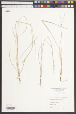 Brachypodium phoenicoides image