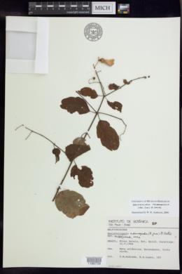 Image of Banisteriopsis membranifolia