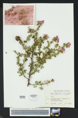 Rosa stellata image