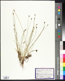 Image of Eleocharis gracilis