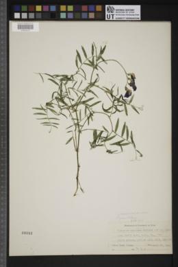 Lathyrus brachycalyx subsp. zionis image
