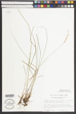 Calamagrostis rubescens image