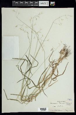 Bromus texensis image