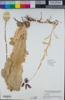 Papaver somniferum image