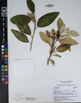 Lagunaria patersonia image