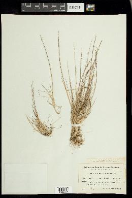 Puccinellia angustata image