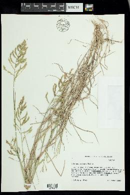 Trichoneura elegans image