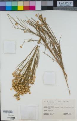 Baccharis sarothroides image