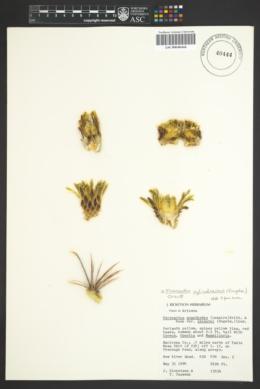 Ferocactus cylindraceus subsp. lecontei image