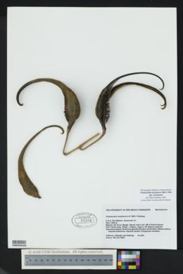 Proboscidea louisianica image