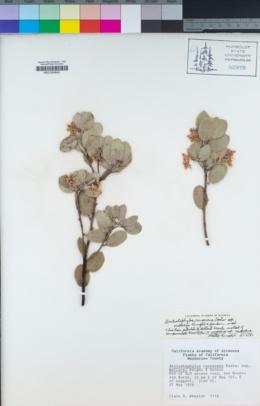 Arctostaphylos malloryi image
