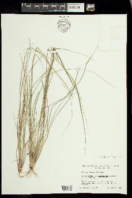 Setaria chapmanii image