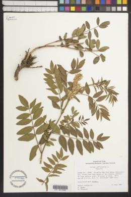 Galega officinalis image