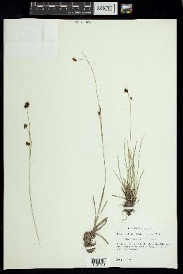Image of Rhynchospora kunthii