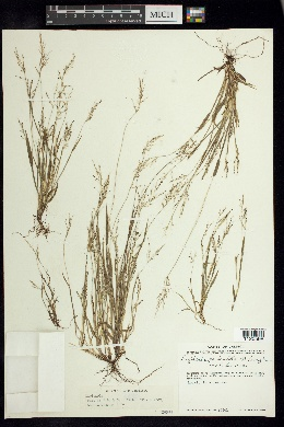 Image of Digitaria paniculata