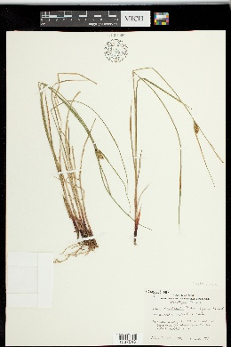 Image of Carex x stenolepis