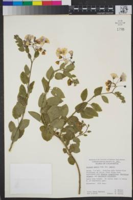 Solanum xanti var. xanti image