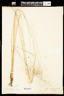 Muhlenbergia capillaris image