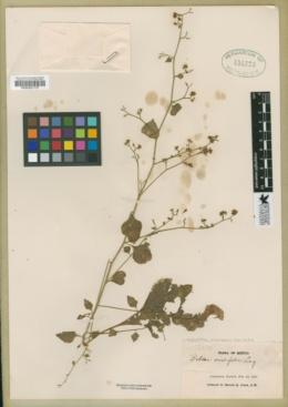 Salpianthus purpurascens image