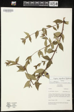 Image of Cuphea dipetala