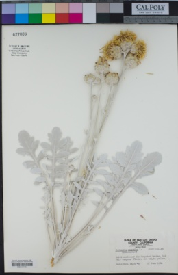 Centaurea ragusina image