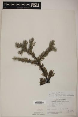 Image of Polygala watsonii
