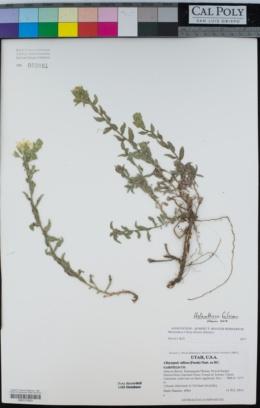 Heterotheca fulciens image