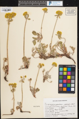 Eriogonum umbellatum image