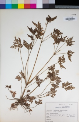 Geranium robertianum image
