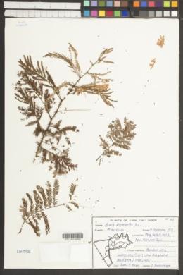 Image of Acacia ataxacantha