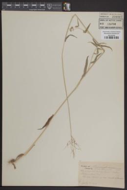 Image of Panicum annulum