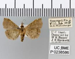 Image of Lascoria alucitalis