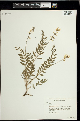 Image of Astragalus hylophilus