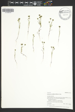 Schkuhria multiflora image