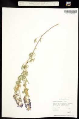 Image of Lupinus alpestris