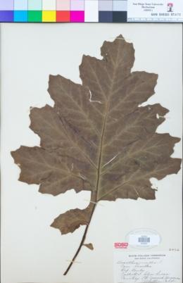 Acanthus mollis image