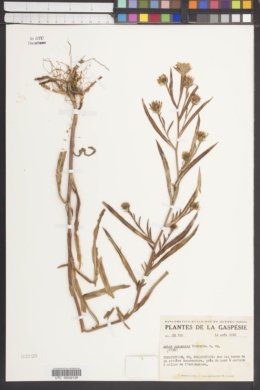 Image of Aster gaspensis