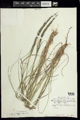 Image of Muhlenbergia jaliscana