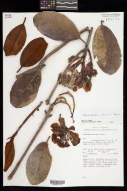 Image of Rhododendron konori