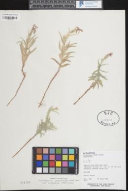 Lygodesmia grandiflora var. arizonica image